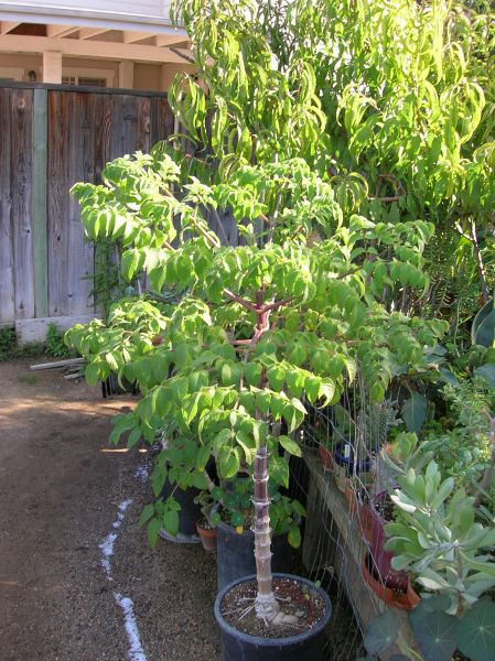 tree dahlia planting instructions